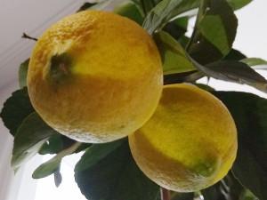 lemon_01
